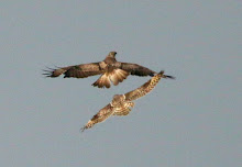 Fly Flatts Buzzard and Short Eared Owl.