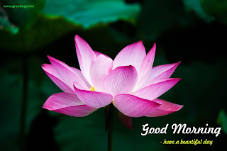 good morning lotus greetings