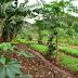 QUINTAIS AGROFLORESTAIS SÃO ALTERNATIVA DE RENDA PARA AGRICULTORES FAMILIARES