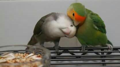 Cara Paling Akurat Membedakan Burung Lovebird Jantan dan Betina