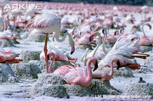 interactions between colonies birds Greater flamingo