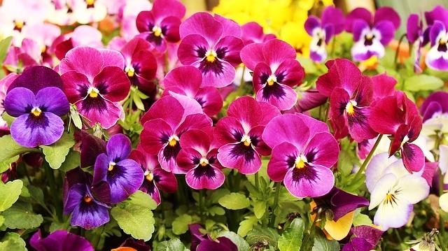 Cultivo do Amor perfeito (Viola wittrockiana)