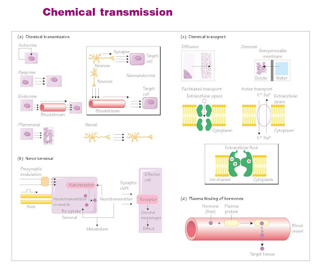 Chemical transmission, Classification of endocrine hormones, Basic principles of neurotransmission, Chemical Transport, Hormone transport in blood