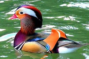 Pato-mandarim: curiosidades surpreedentes