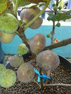 http://danahauses.blogspot.com/2017/10/cara-perawatan-pohon-tin-supaya-berbuah.html