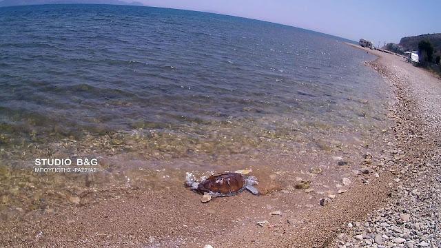Νεκρή θαλάσσια χελώνα στο Κιβέρι