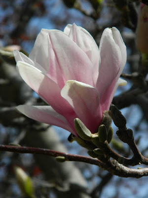 Magnolia soulangea Saucer magnolia by garden muses-not another Toronto gardening blog