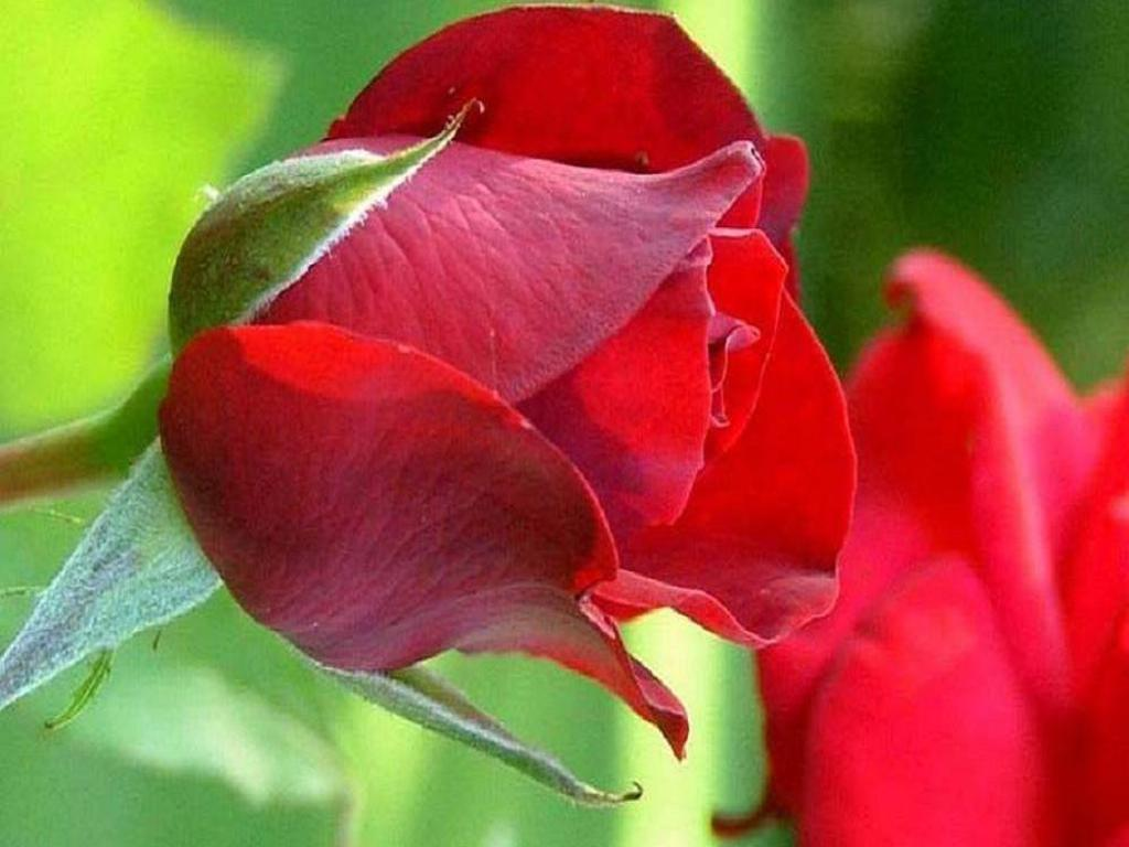 Love Garden Roses: Amazing Red Roses Love Wallpapers And Backgrounds