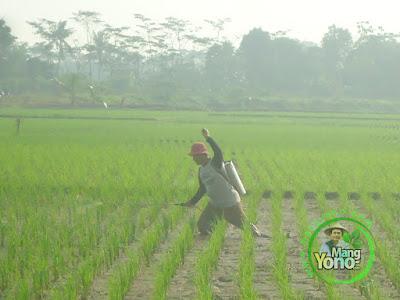 FOTO 4 : Haji Bangsu tetangga sawah sedang melakukan penyemprotan pencegahan hama ulat dan wereng pada tanaman padinya.