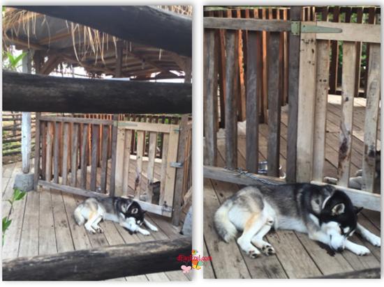 Siberian Husky (Anjing Serigala) di bandung