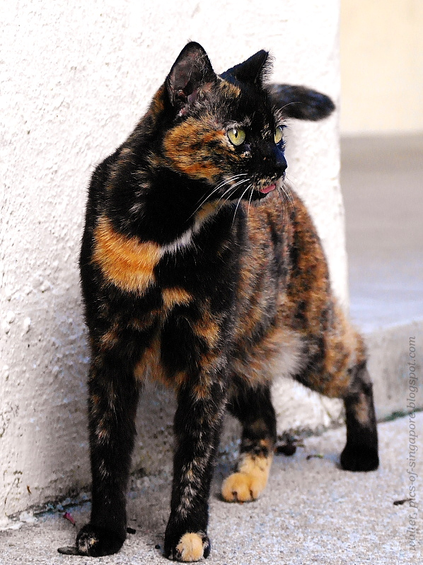 Cats in the lion city photos of street cats in singapore tortoiseshell cat - Images of tortoiseshell cats ...