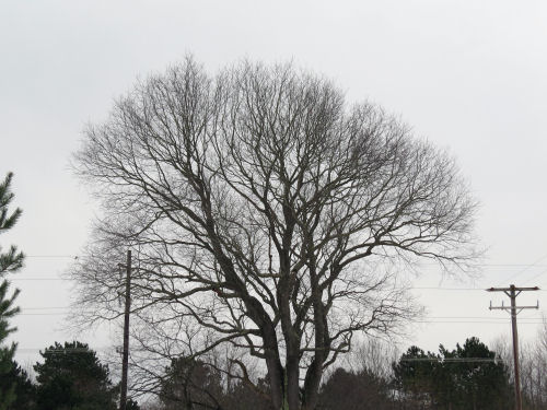 hybrid cherry tree
