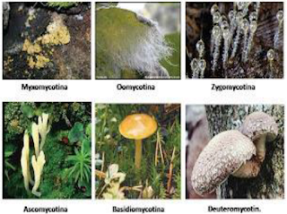 Mengidentifikasi Struktur, Ciri-Ciri dan Contoh dari Kingdom Fungi (Cendawan Sejati) serta Filum Chytridiomycota