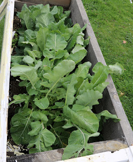 The greens raised bed, stuffed full