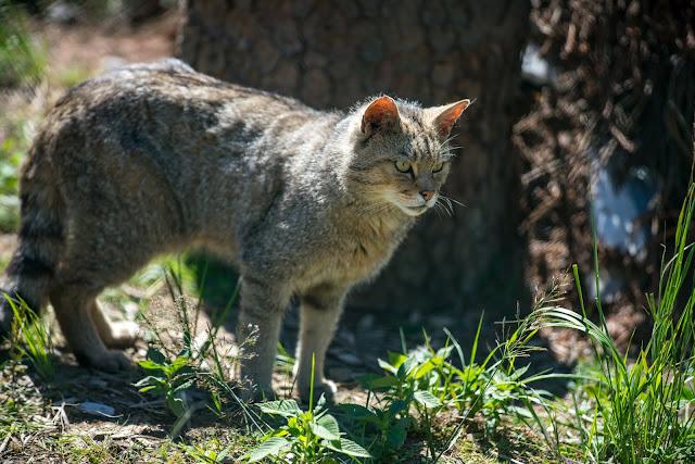 Wildkatzen-Walderlebnis und Wildkatzenstieg zum Wildkatzengehege Bad Harzburg 01
