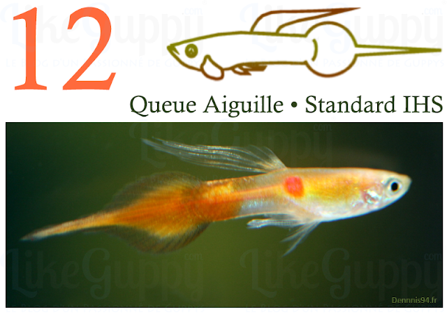 12 • Guppy Queue Aiguille - [IHS]