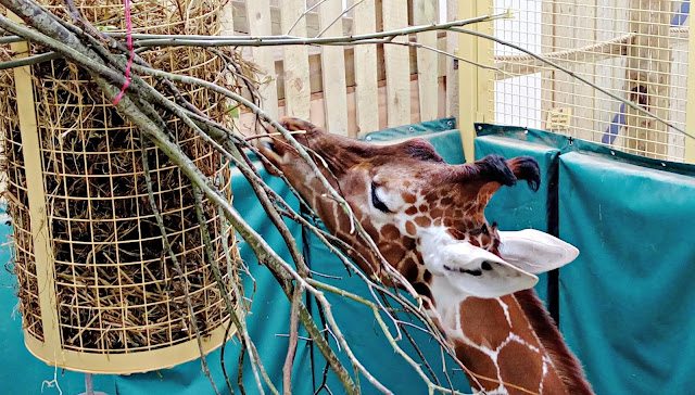 A giraffe enjoying lunch from a feeder at The Wild Place Project