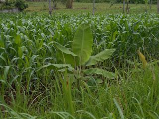 Cara penanaman tanaman jagung tanpa pengolahan tanah