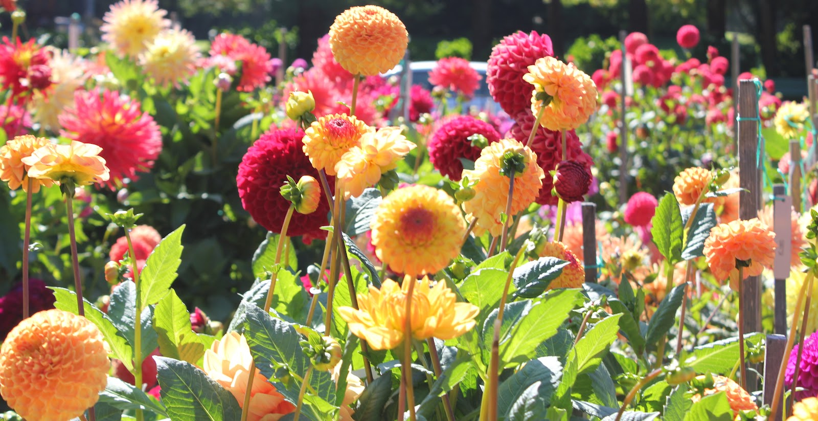 San Francisco FYI net: Dahlia Dell - Conservatory of Flowers