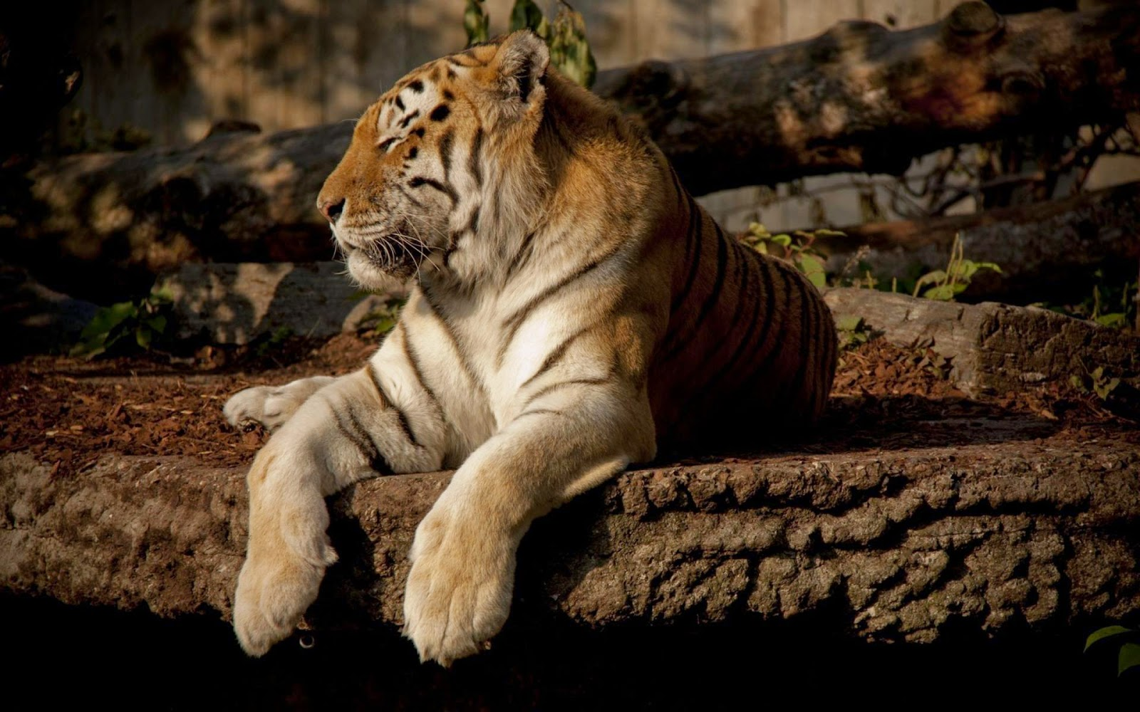 Hd Tiger Full Hd Desktop Wallpapers 1080p