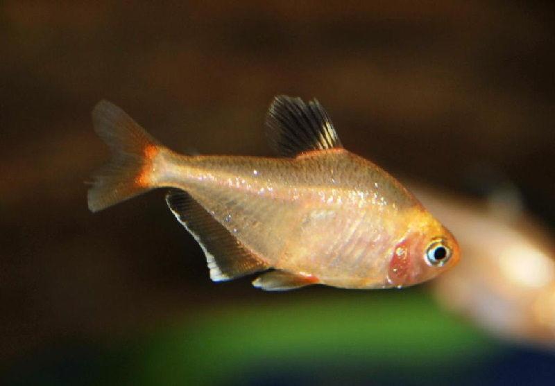 13. Jenis Ikan Hias Aquascape Rosy Tetra