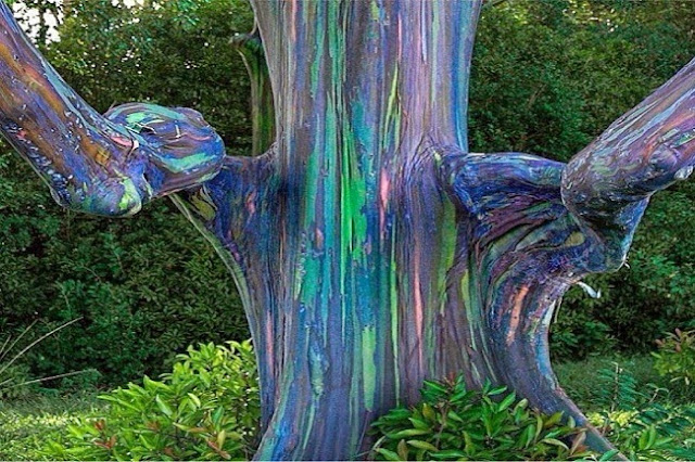 You Will Not Believe That This Rainbow Eucalyptus Tree Is A Natural Wonder Located Right in the Philippines!