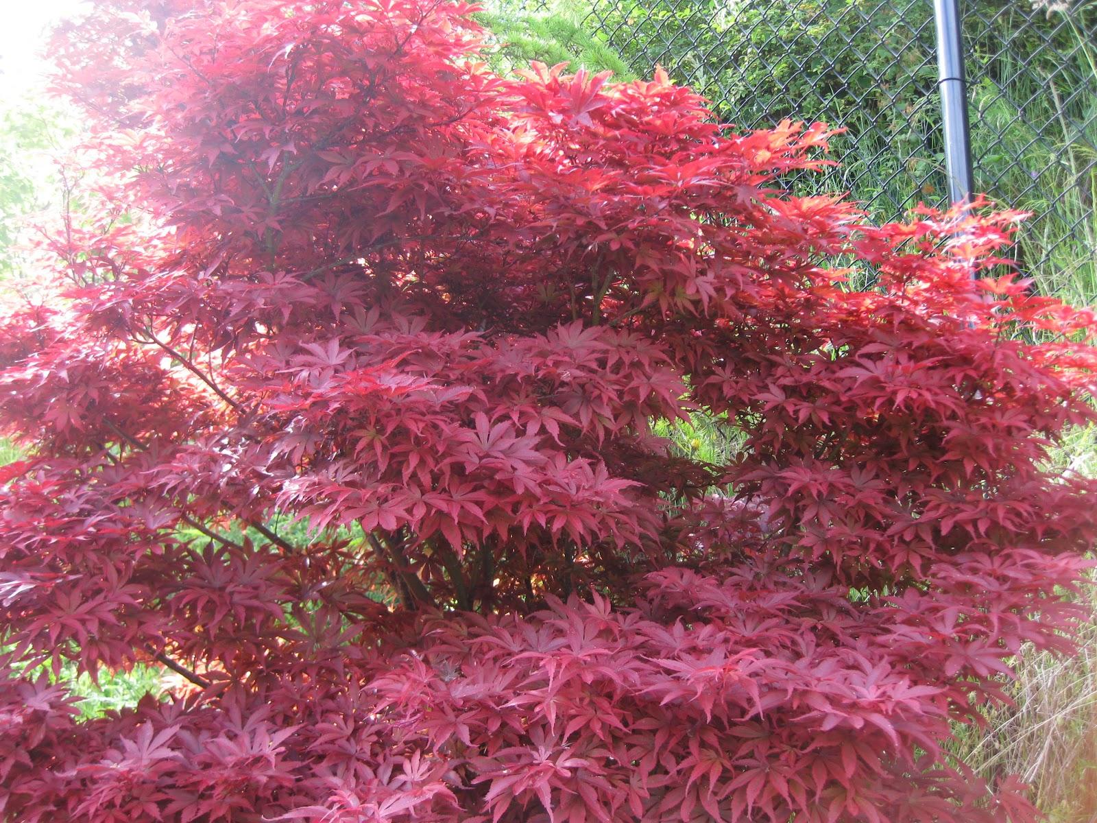 Marys Maples Acer Palmatum Pixie