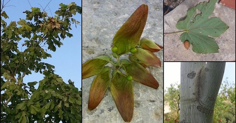 Firmiana simplex, un albero poco usuale