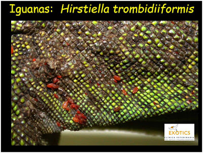 Hirstiella trombiidiformis en Iguanas