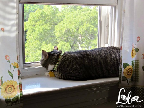 Lola Diary of a Rescued Cat|Cats in windows