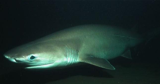 Animals Of The World Bluntnose Sixgill Shark