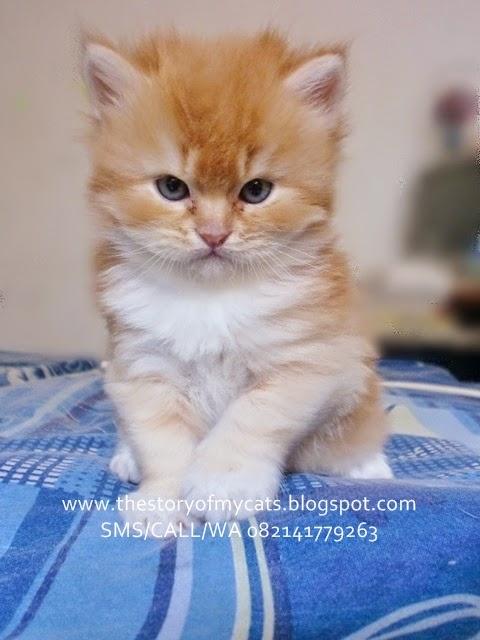 jual kucing lucu kecil bisa kirim luar jawa