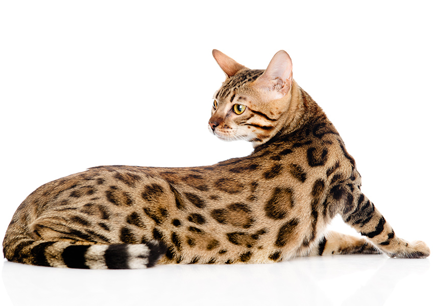 BENGAL BREED: TICA AND CFA BENGAL BREED STANDARDS - Deluxe