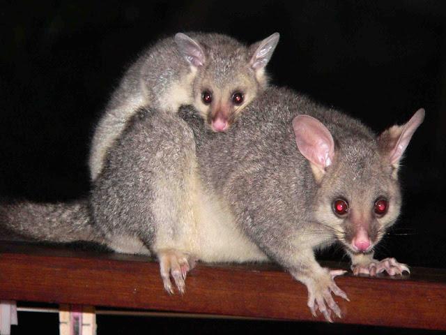 possum nueva zelanda