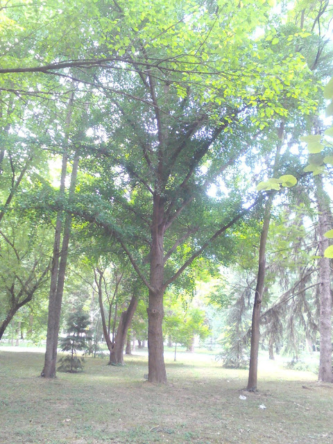 Ginkgo Biloba Tree, Yambol City Park, Yambol,