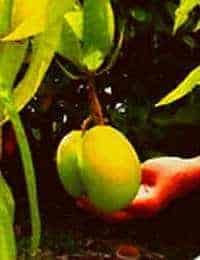 Health benefits of Mango Fruits