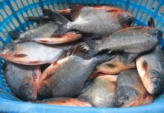 Kelebihan dan Kekurangan Usaha Budidaya Ikan Bawal