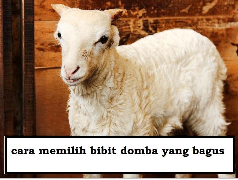 Cara memilih bibit domba