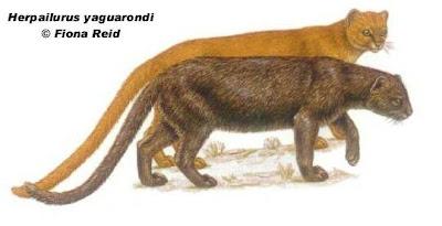 Yaguarundí Puma yagouaroundi