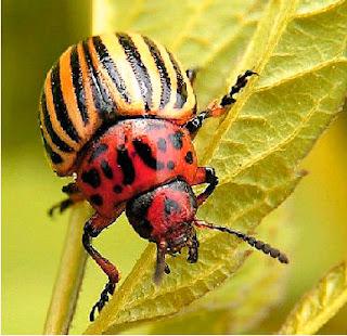 Indice de insectos perjudiciales si proliferan en huerto o cultivos