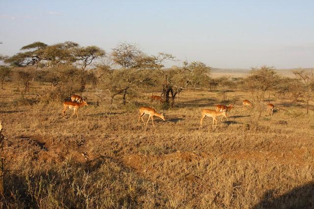 tansania safari afrikka matka antilooppi