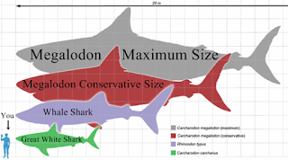 Ukuran megalodon - HIU MEGALODON