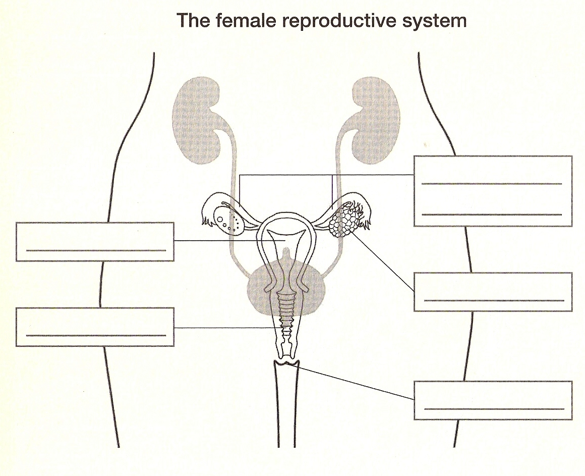Blank Female Reproductive System Diagram
