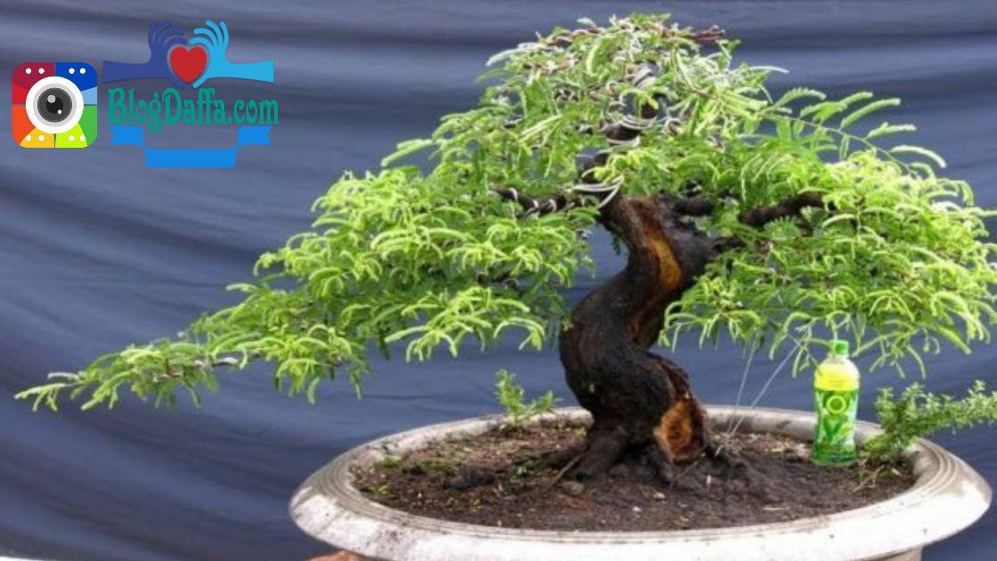 Cara merawat bonsai asam Jawa