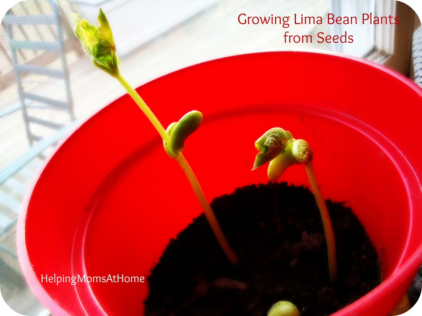 Helpingmoms Home Growing Lima Bean Plants From Seeds