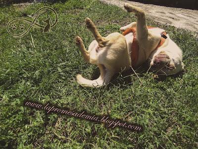 Chihuahua nueva camada