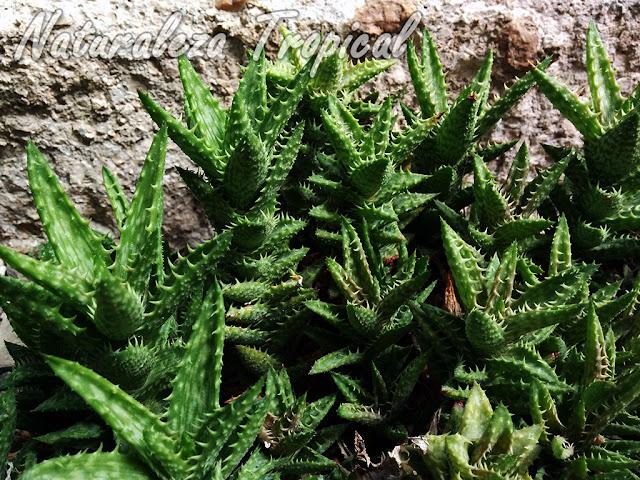 Aloe juvenna es cultivado en todo el mundo