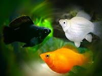 Perbedaan Ikan Molly Balon Jantan dan Betina