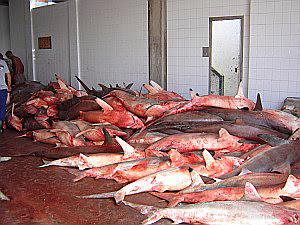 massacre-tubarões