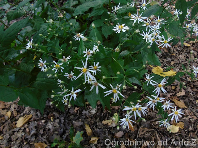 Aster rozkrzewiony (Aster divaricatus)